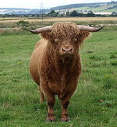170px-highland_cattle_bull